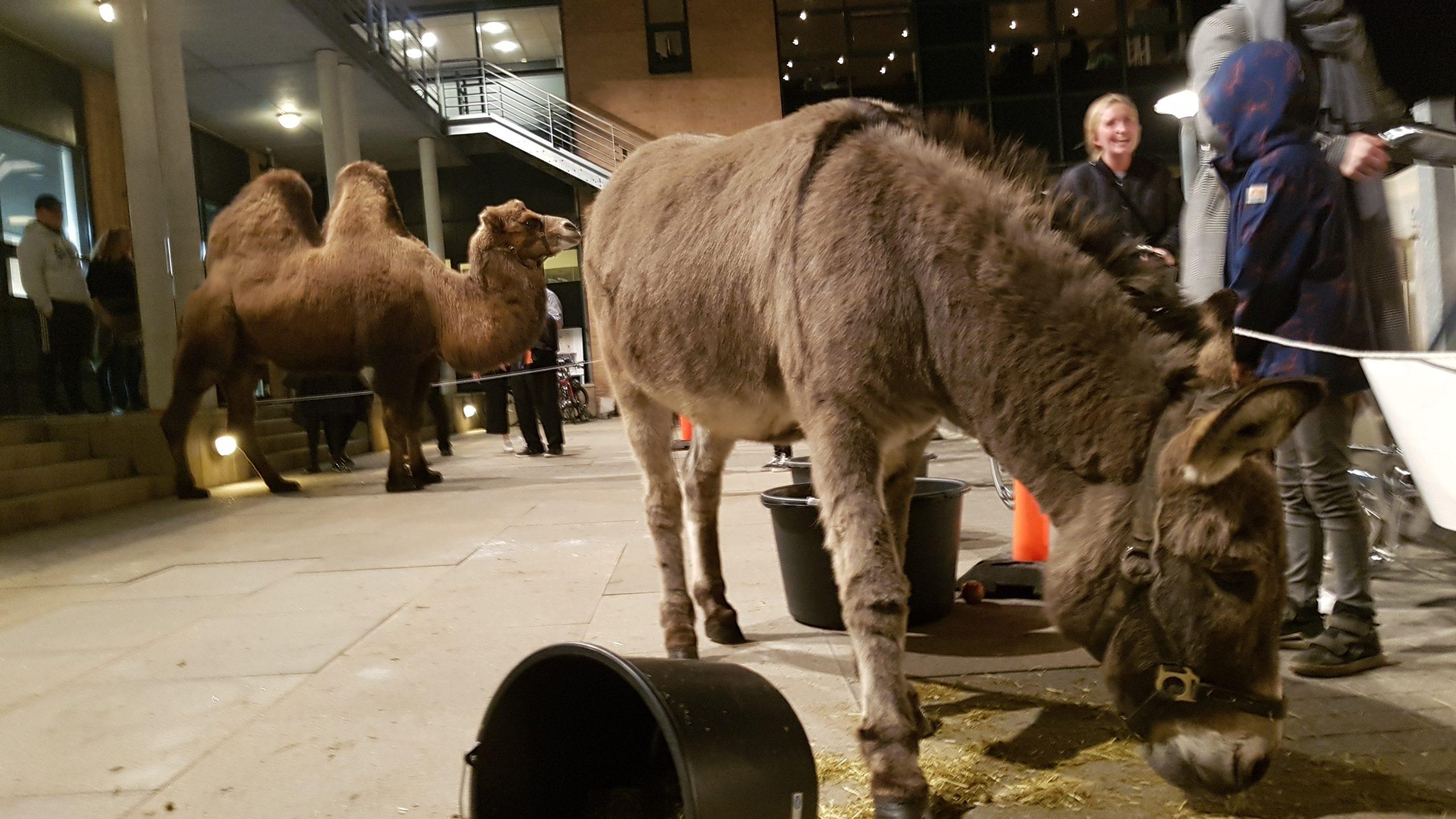 Hosting a camel